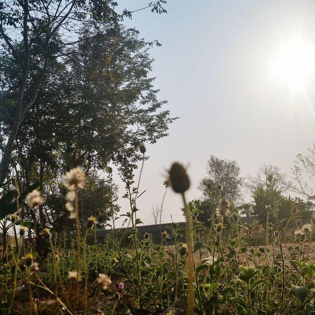 Sunshine Grass
