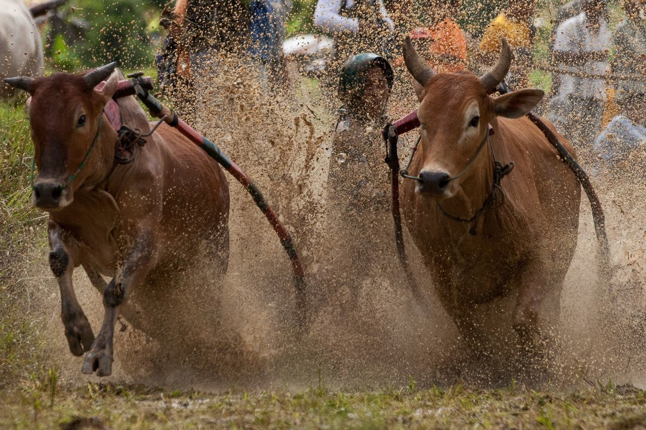 Two cows with spray of muddy water