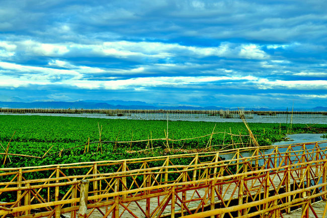 makeshift bridge to cross the lake Bamboo Fence Bamboo Shoots Bridge - Man Made Structure Horizon Over Land Lake Landscape Nature Outdoors Rural Scene The Great Outdoors - 2016 EyeEm Awards Waterlilies