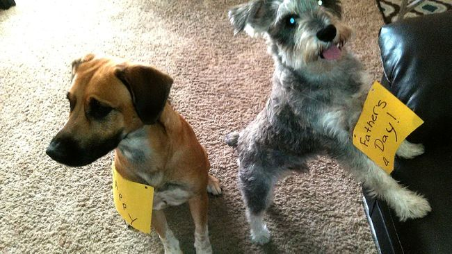 Pups German Shepherd Mix BoxerMix Schnauzer 🐶 Pups Dogslife Dog Rescue Dogs Father's Day