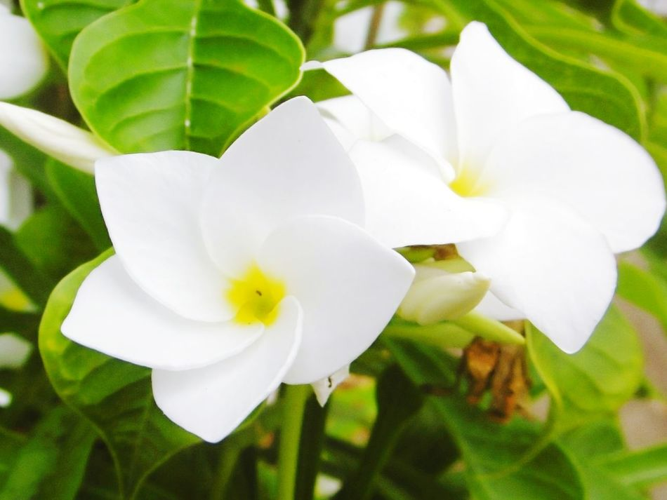 Rave จำปา Flower Petal Freshness White Color Flower Head Fragility Close-up Nature Plant Growth Beauty In Nature Day No People Leaf Outdoors ลั่นทม