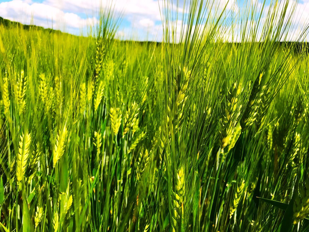 growth, green color, nature, agriculture, field, grass, farm, crop, plant, beauty in nature, day, tranquility, outdoors, cereal plant, ear of wheat, rural scene, freshness, close-up, no people, wheat, sky, scenics, rice paddy