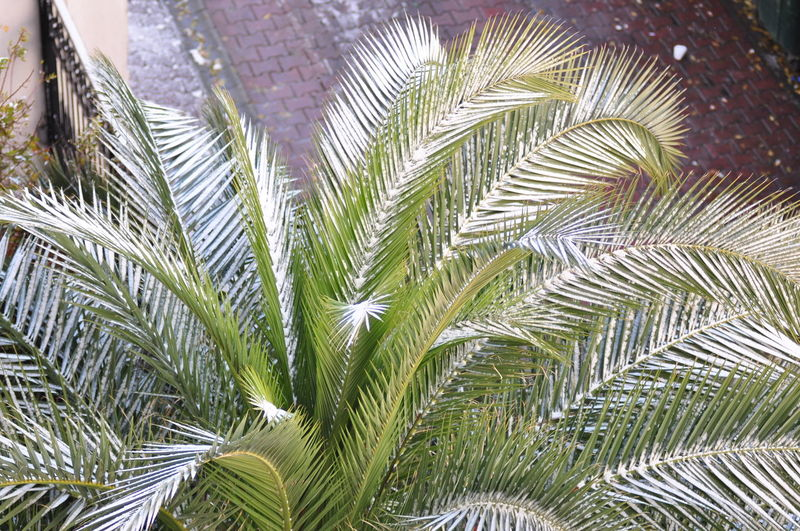 Snow on palm tree leaves Beauty In Nature Leaf Nature Outdoors Palm Tree Snow On Palm Tree Snow On Plant Snow ❄ Winter Time In Istanbul