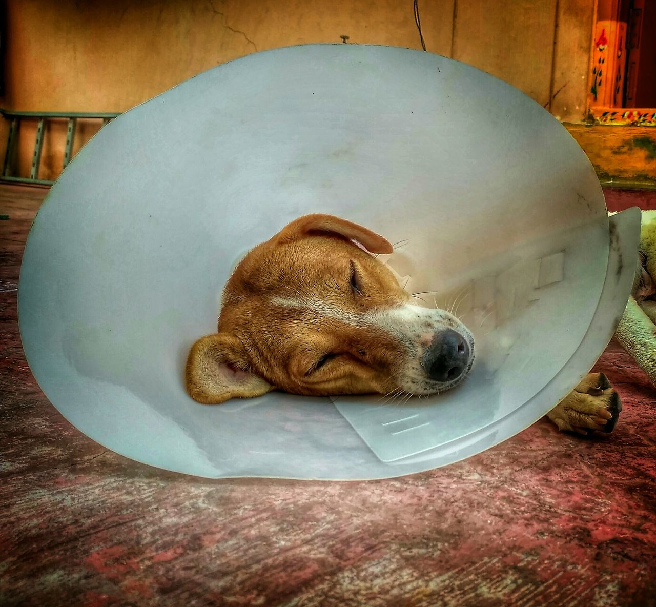 Dog With Protective Collar While Sleeping In Room
