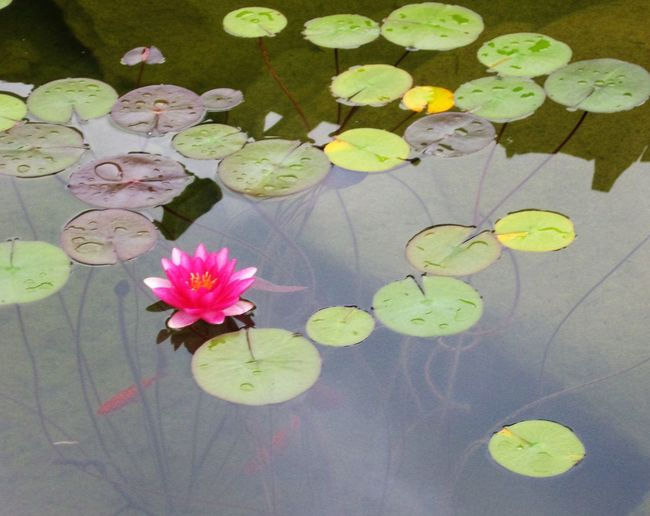 Beauty In Nature EyeEm Nature Lover EyeEmFlower Eyeemflowerlover Floating On Water Flower Flower Head Fragility Freshness Green Color Growing Growth Lily Pad Lotus Water Lily No People Pink Pink Color Pond Simplicity Single Flower Water Water Lily