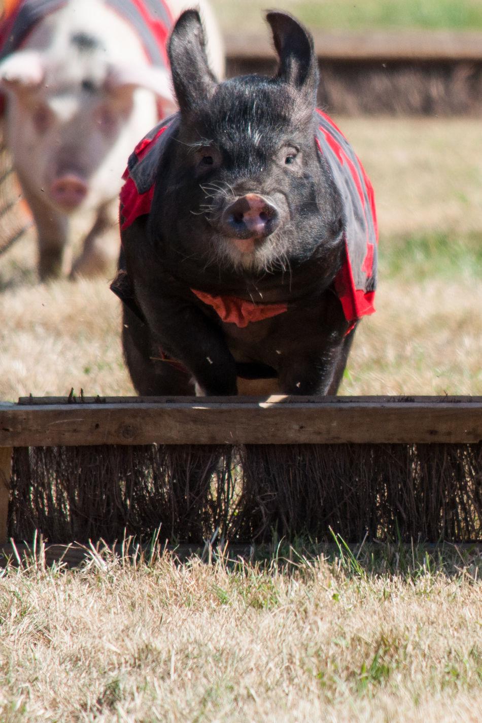 Pig Racing Jump Jumps Mammal Pig Pig Races Pigs PIGS!! Pigs♥ Race Racing Speed Winner Winning