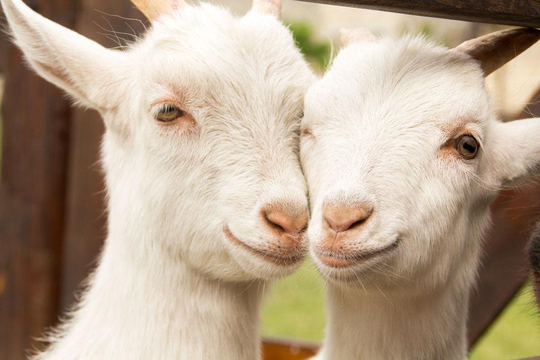 Animal Animals Goat Goats Kindly