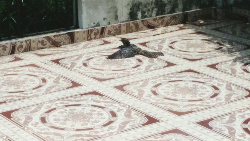 What is this Bird, basking on my terrace, no-one seems to know the name of it. First Eyeem Photo