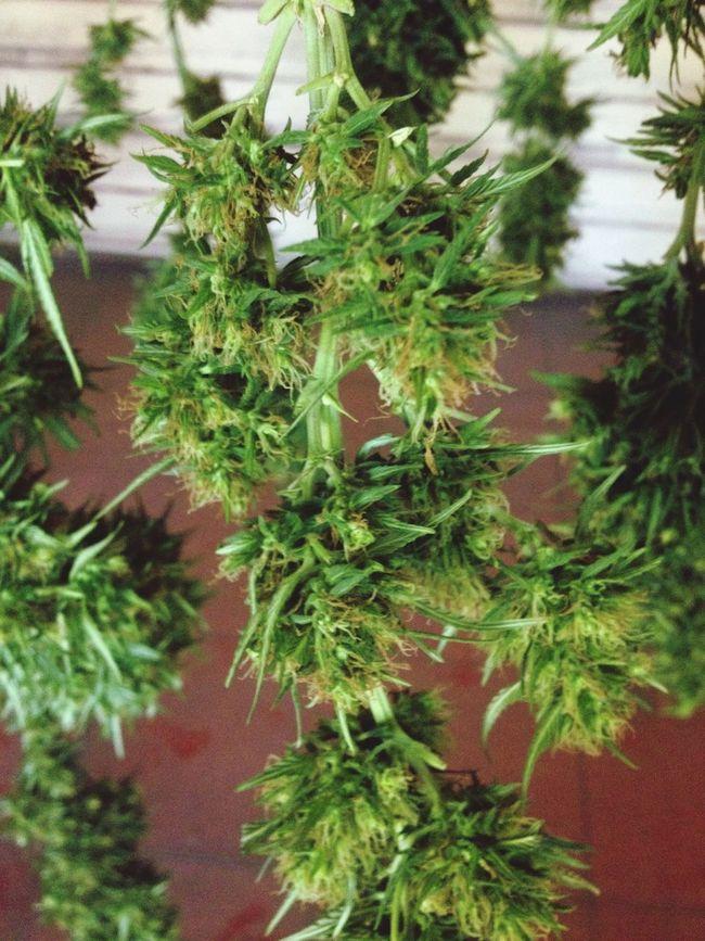 Marijuana Smoke Weed 420