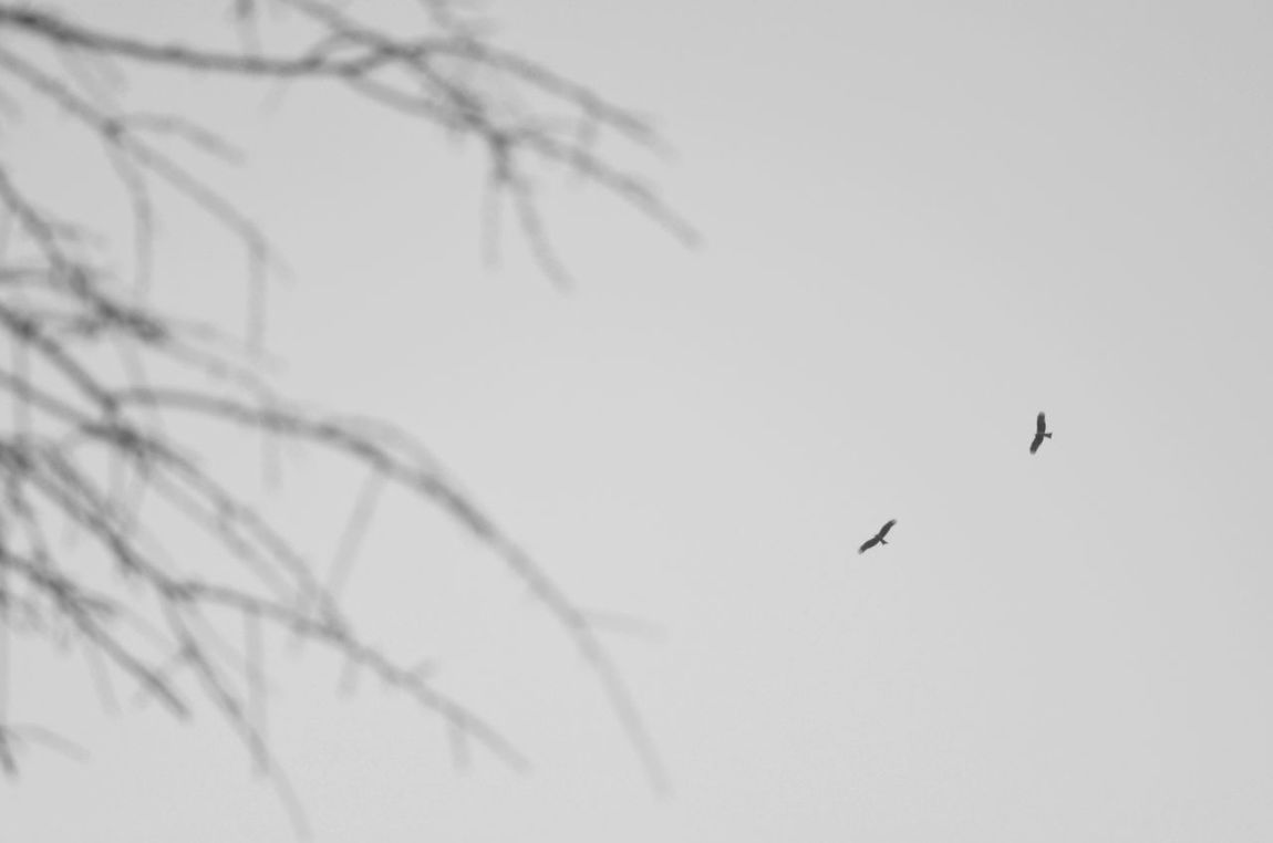 Flying Birds Pair Of Birds Birds And Sky  Birds And Branches Flying Birds🐦⛅ Monochrome Black And White Taking Photos Capture The Moment From My Point Of View Flying High Flying In The Sky Silhouettes Simple Photography Simple Moment Learn & Shoot: Simplicity Moment Of Silence EyeEm Nature Lover