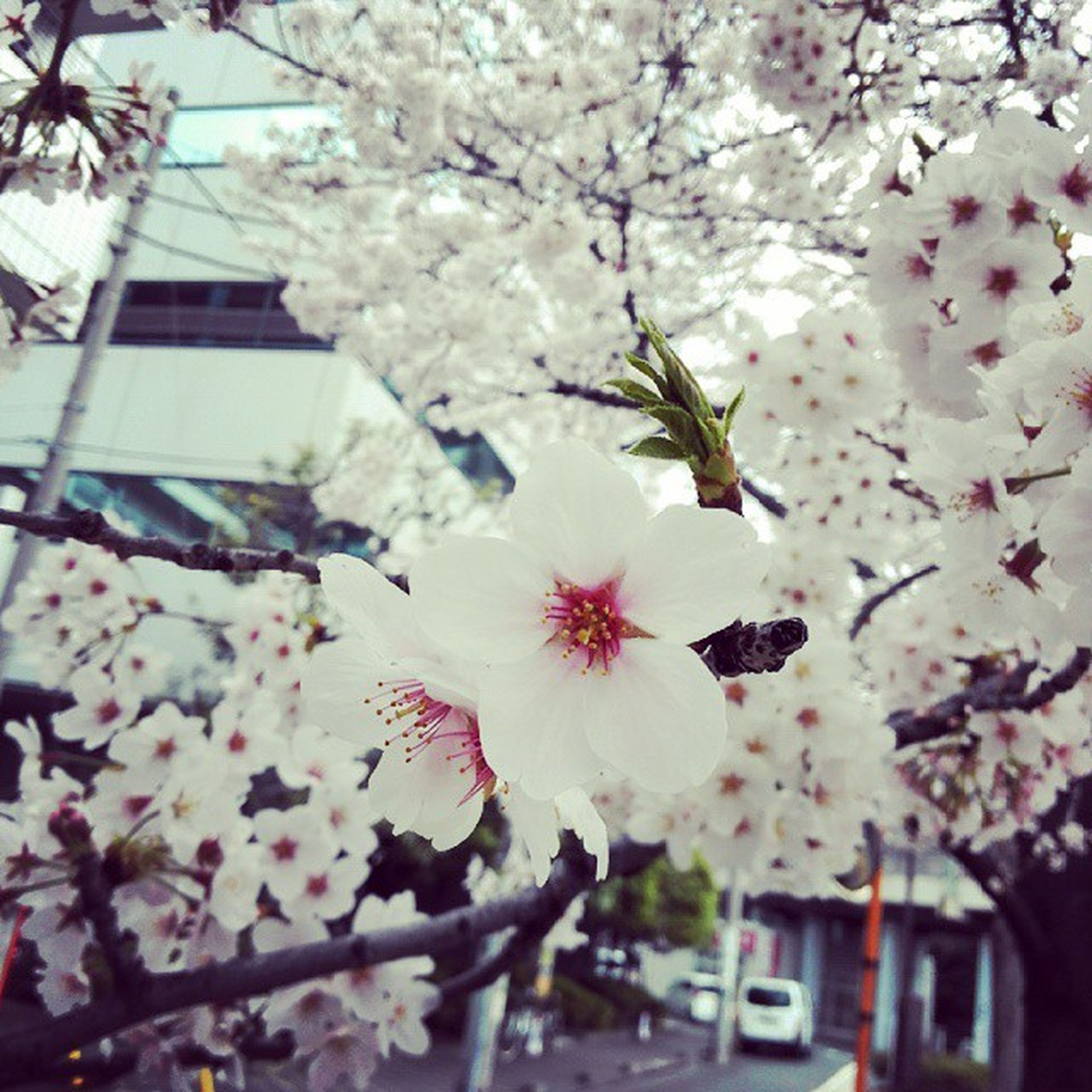 flower, cherry blossom, branch, tree, fragility, freshness, cherry tree, blossom, growth, building exterior, pink color, architecture, low angle view, built structure, petal, nature, beauty in nature, in bloom, springtime, fruit tree