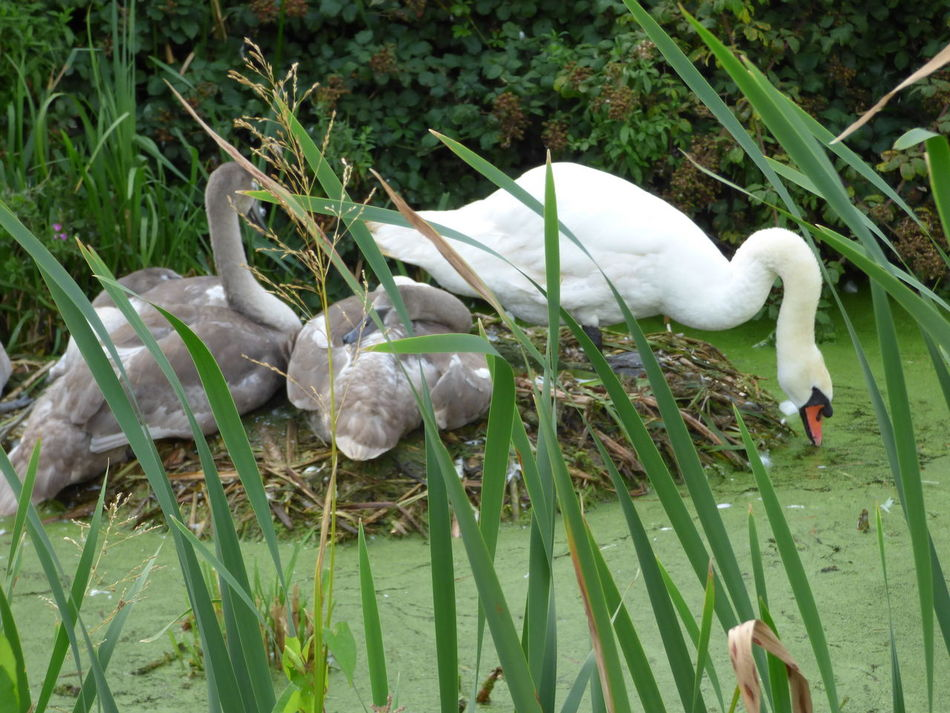 Birds Birds In The Wild Family Of Swans Swans Swans ❤ Wildlife