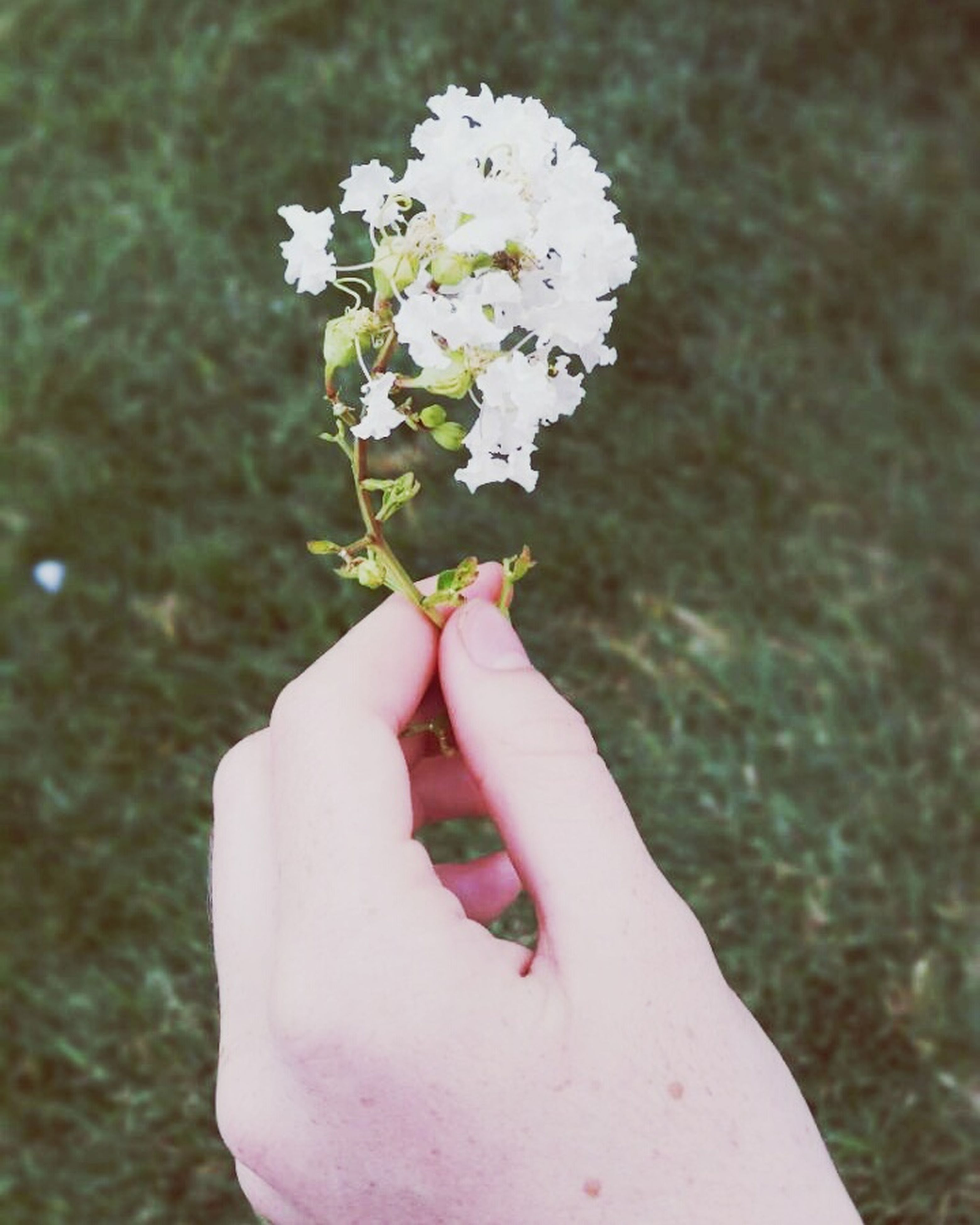 person, flower, holding, human finger, part of, petal, fragility, white color, freshness, cropped, close-up, flower head, focus on foreground, single flower, unrecognizable person, lifestyles