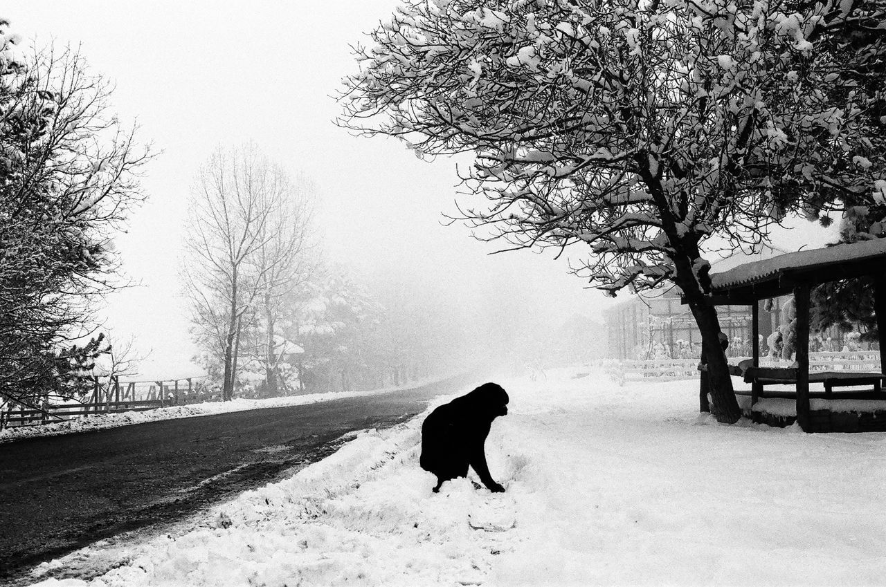 snow, winter, one animal, cold temperature, dog, animal themes, pets, tree, mammal, nature, domestic animals, walking, outdoors, road, bare tree, full length, no people, day, beauty in nature, sky