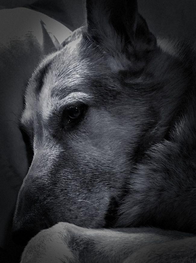 Dogs Of EyeEm German Shepherd Blackandwhite Photography