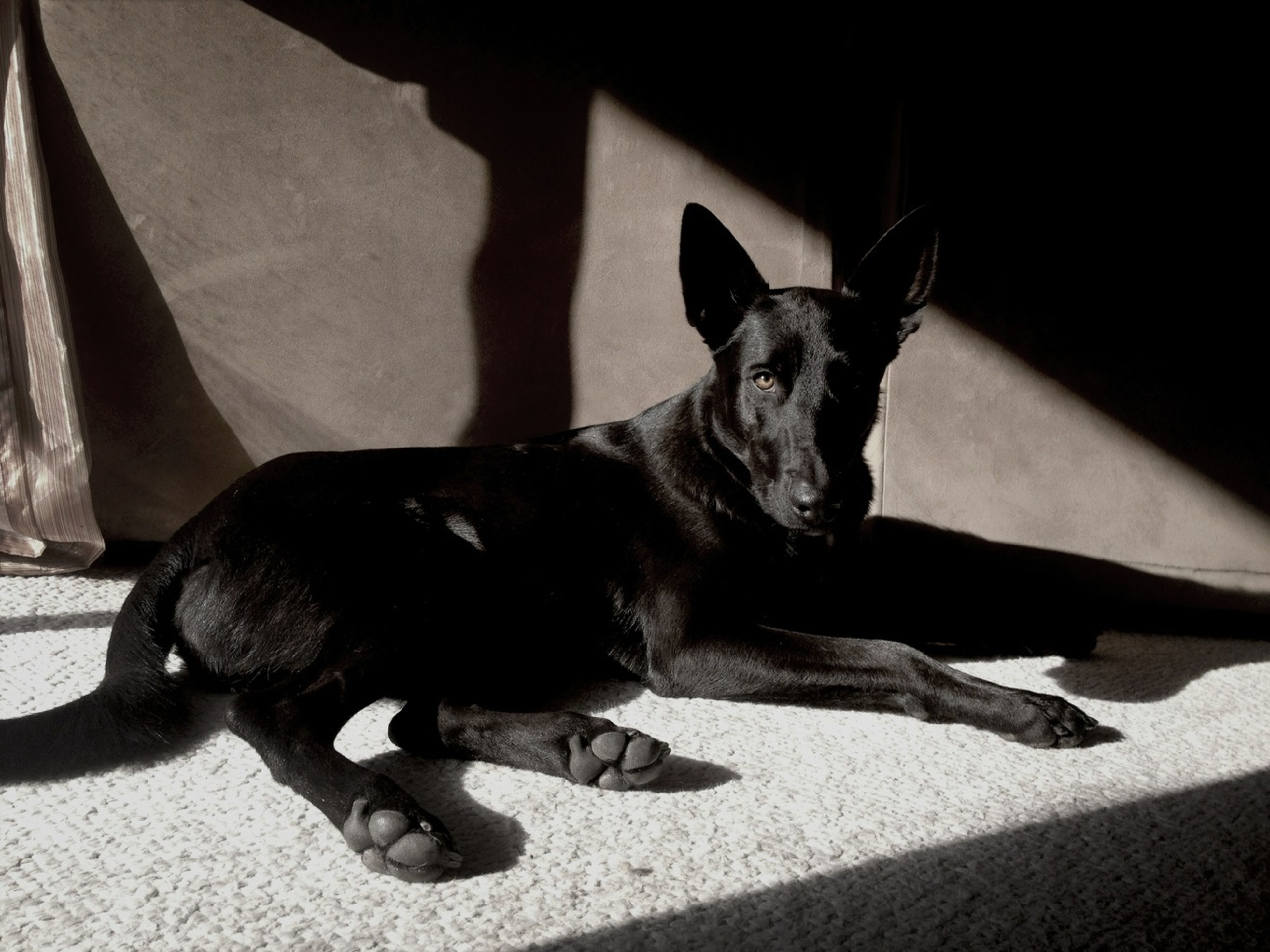 pets, animal themes, domestic animals, one animal, mammal, dog, indoors, relaxation, lying down, sitting, home interior, resting, full length, sunlight, portrait, shadow, domestic cat, looking at camera, high angle view, black color