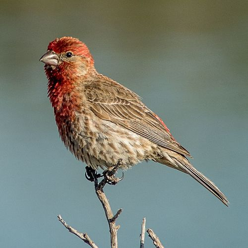 Red headed Finch One Animal Animal Themes Animals In The Wild Bird Wildlife Perching Close-up Nature Day Finch Songbird  Naturelovers Bird Photography Bird Watching Avian No People Nature Photography Birds Of EyeEm  Twig Song Birds Bird On A Branch Bird Photos Zoology Beauty In Nature