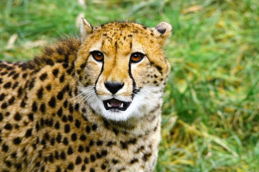 Cheetah looks right in the camera Animal Themes Animals In The Wild Cheeta No People One Animal Safari Animals Spotted Wildlife