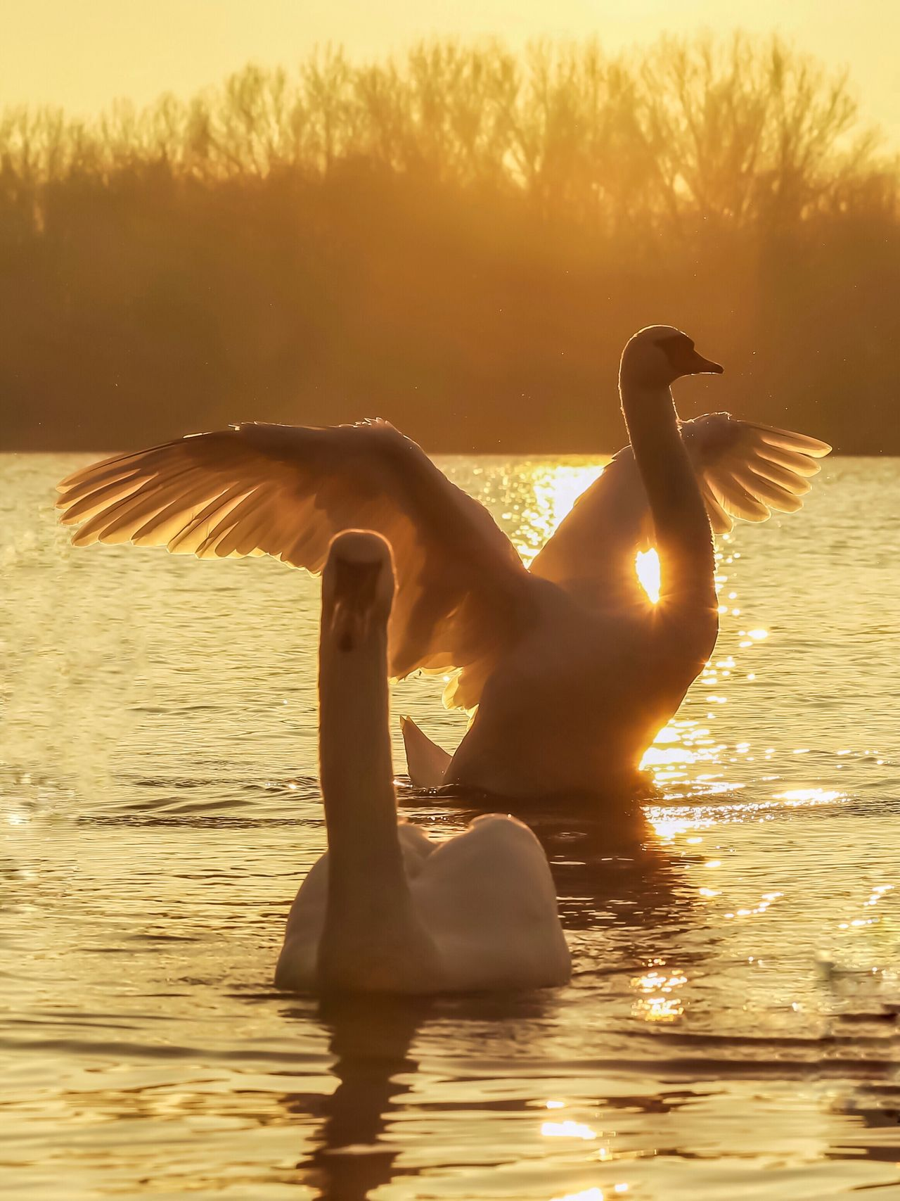 """Evening mood"" https://www.facebook.com/mh.photography.de/ Swan Swans On The Lake Schwan  Scenics Sunset Sonnenuntergang Evening Evening Sky Evening Mood Animals Tiere Bird Birds Vogel Michael Hruschka Wildlife No People Beauty In Nature Nature Moments Natur Animals In The Wild Animal Themes Sky Colors"