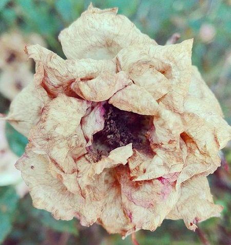 Deadflower Deadrose Rosé Brown Dead Brownrose Garden Backyard Wmm_brown