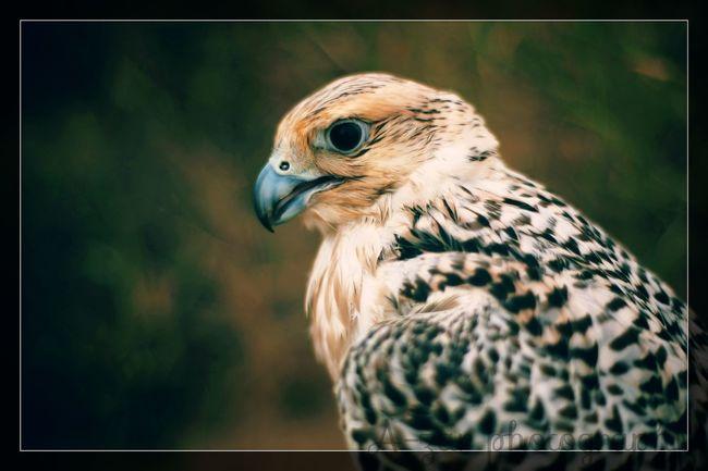 Bird Photography Birds Hunter Arabian Bird