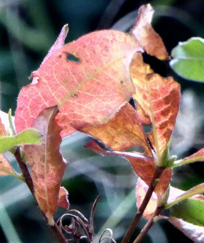 Autumn i see creatures everywhere😄an angry pink elephant?Selective Focus Fragility Leaves, Leaf, Leaflet, Frond, Blade, Needle; Botany Cotyledon, Blade, Bract Colors_ofourlives Simple Beauty Naturelovers Beauty In Nature Nature Lover Leaves Lakeshore Awesome Autuum Colors Multicolor Autumn🍁🍁🍁