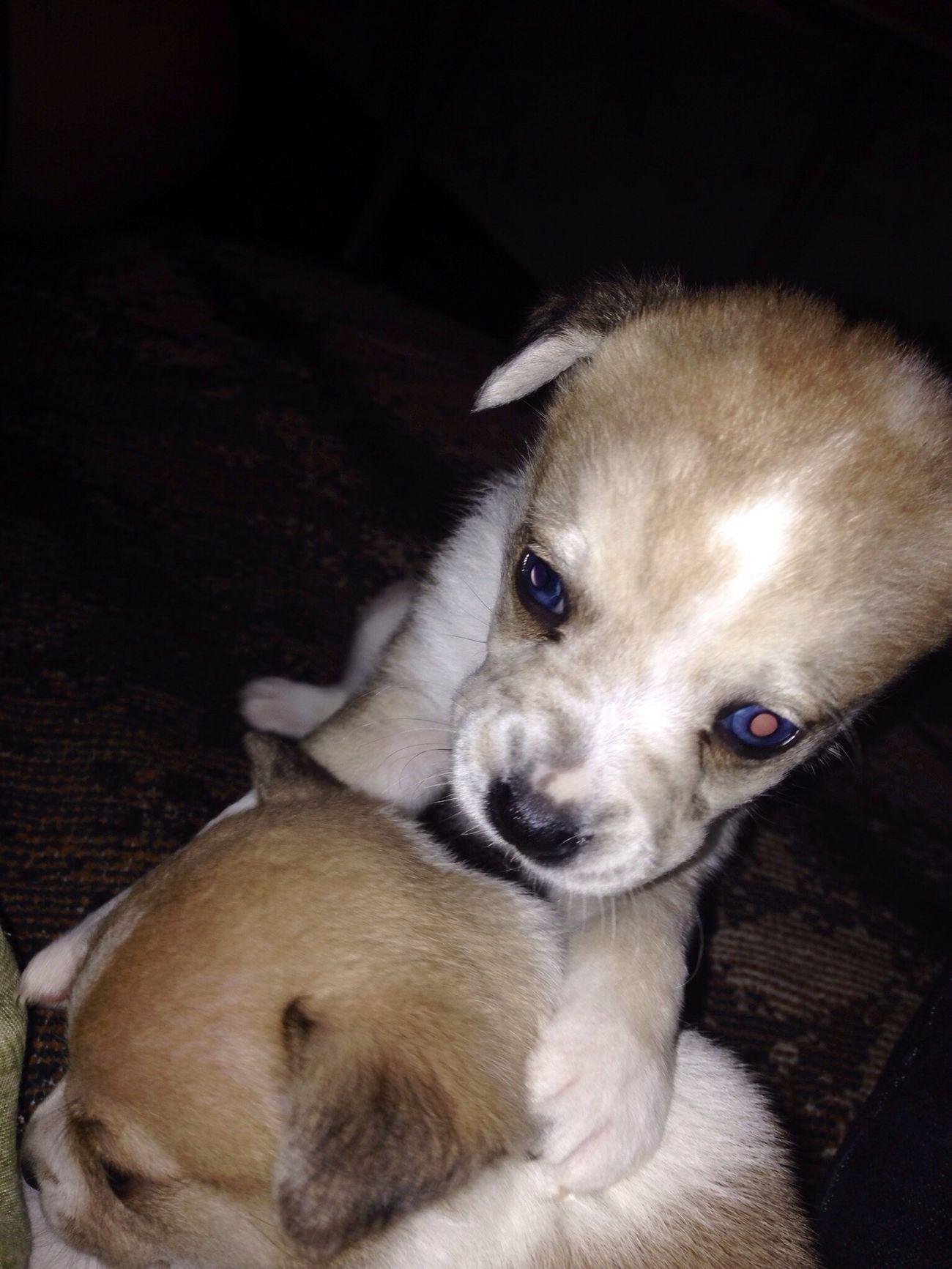 Animal Perro Ojos Bonitos  Azules