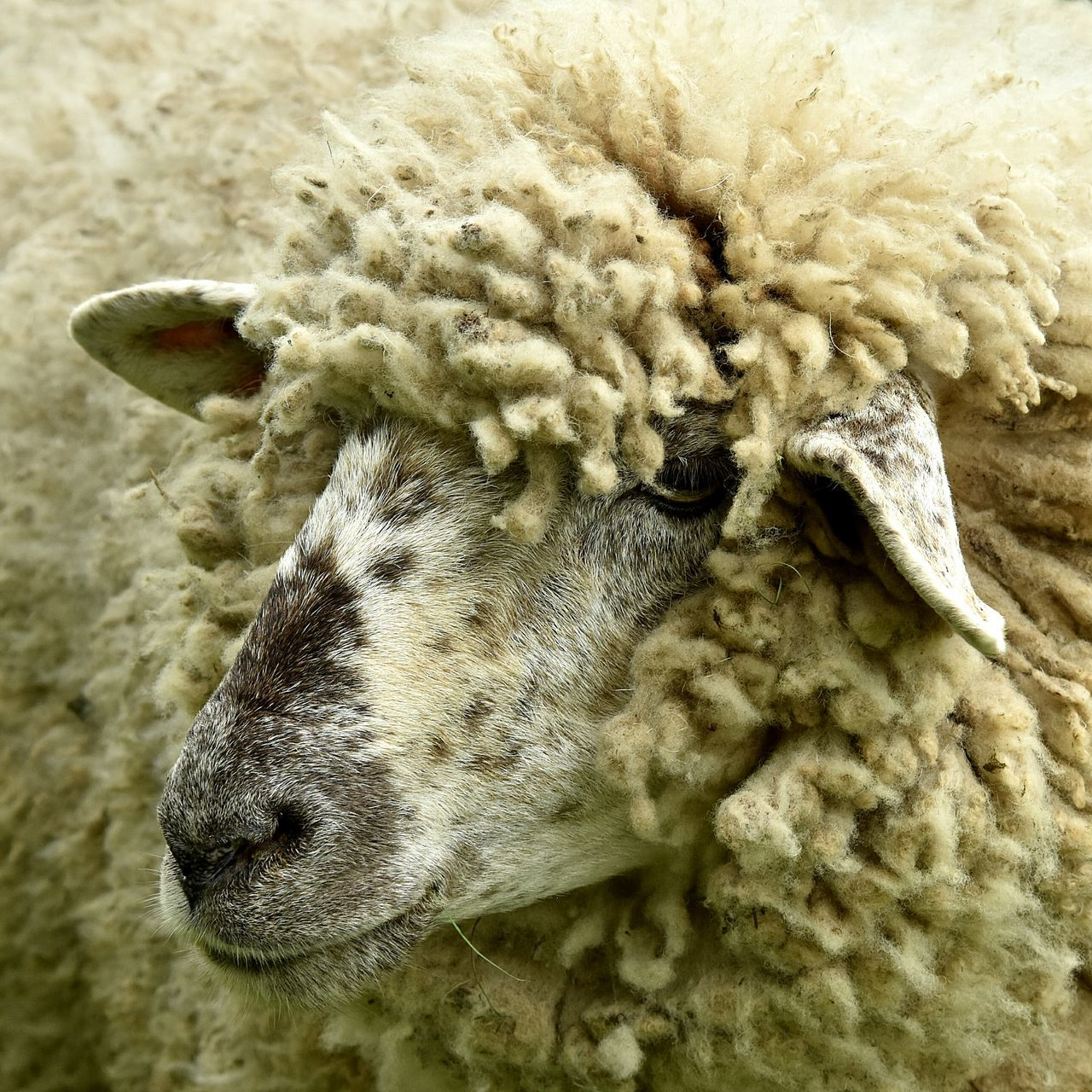 Profile View Of Sheep
