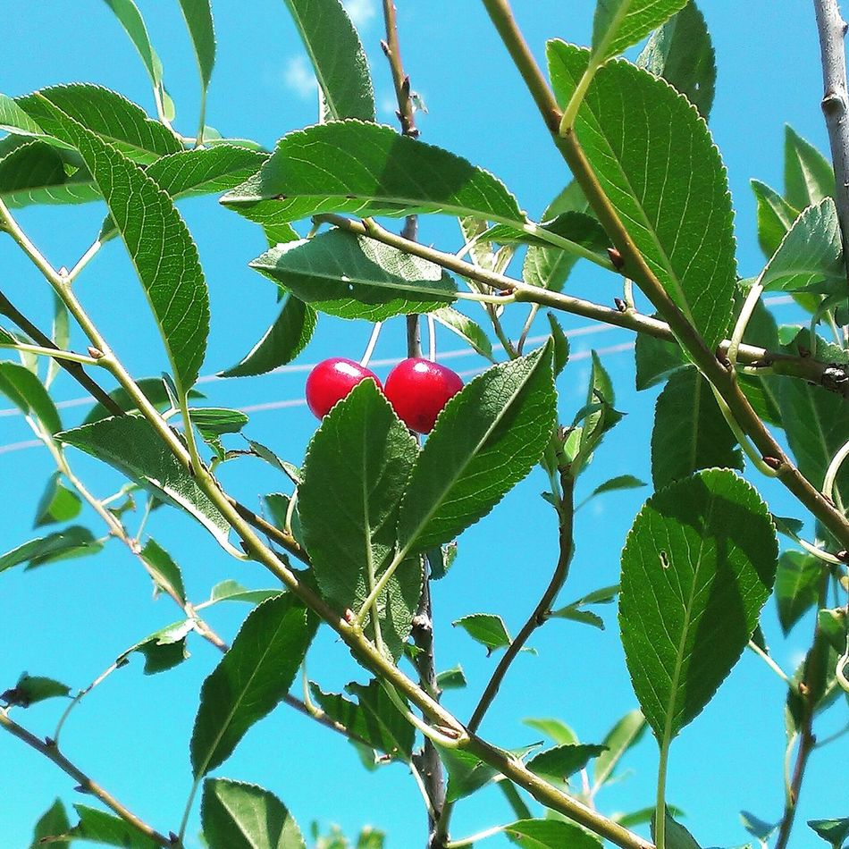 Summer #berry #cherry