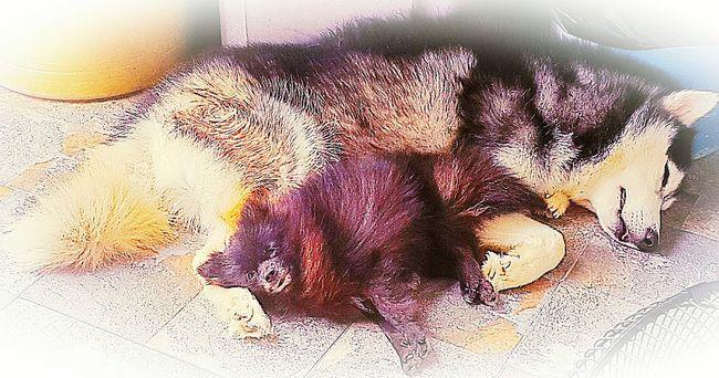 BFF! 💞 Twilight Buster Pet Photography  Pets Corner Animal Photography Dogslife Dogs Of EyeEm Pomeranian Siberian Husky