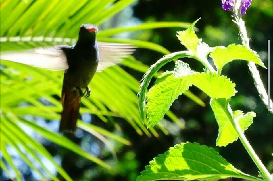 humming-bird Hummingbird Flapping Its Wings Littlebird Perfect Shot Kolibri