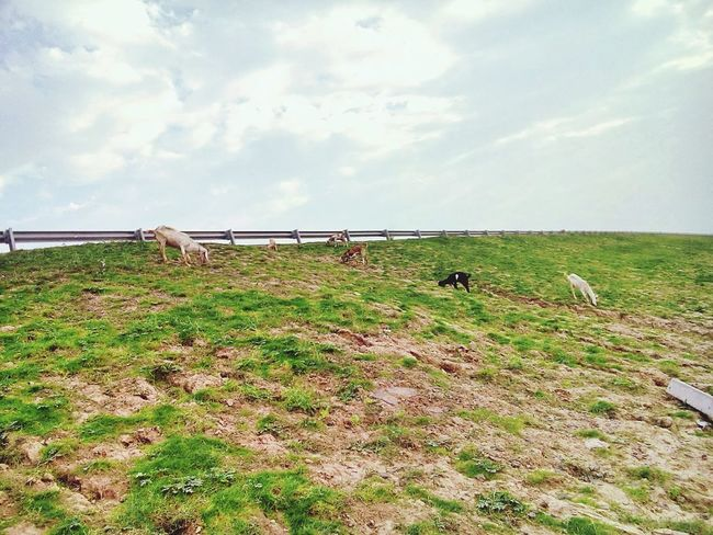 Goats Goat Grass In Pakistan Eyeem Pakistan Beautiful Beuatyofnature Check This Out Landscape_Collection Mobilephotography