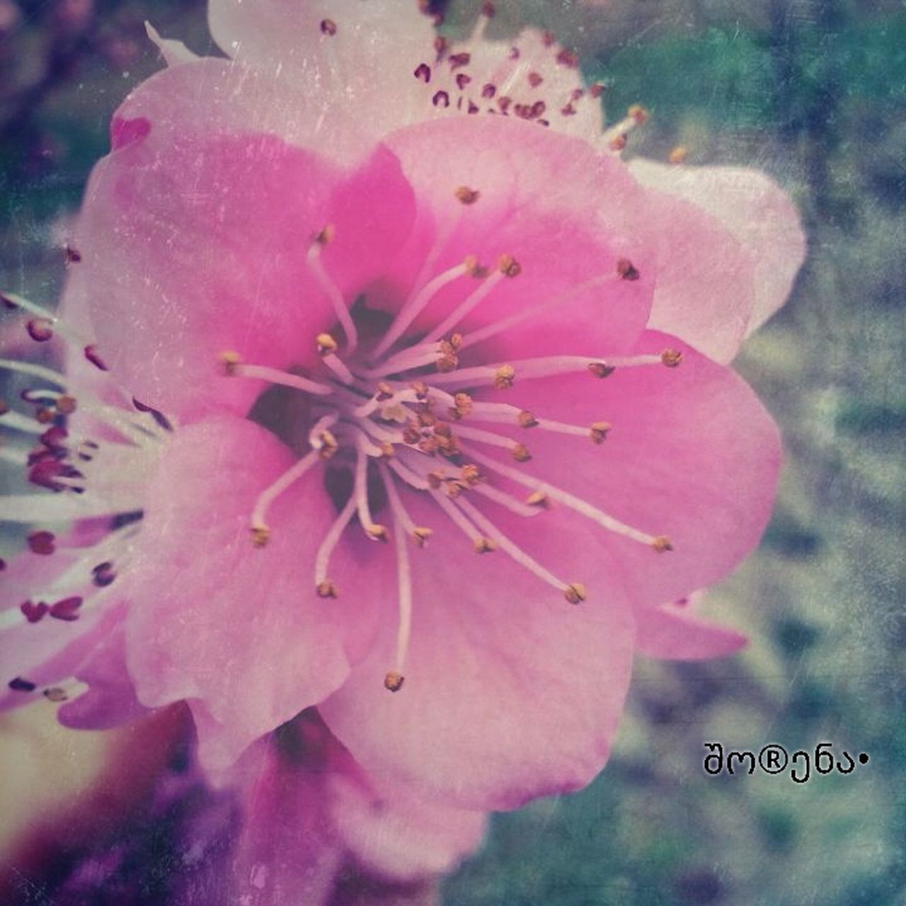 flower, freshness, petal, fragility, pink color, growth, close-up, beauty in nature, flower head, focus on foreground, nature, blooming, pollen, stamen, plant, single flower, in bloom, day, selective focus, outdoors
