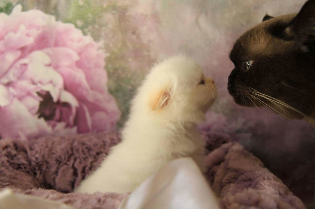 Pets Animal One Animal Pink Color Domestic Animals No People Domestic Cat Close-up Cute Animal Themes Feline Mammal Flower Indoors  Day Nature