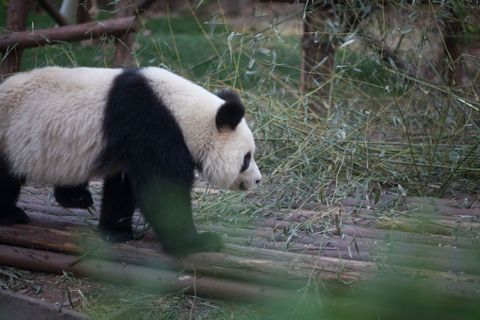 Beautiful stock photos of panda, Animal Themes, Animals In The Wild, No People, One Animal