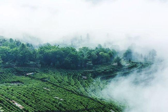 Misty, tea fragrance