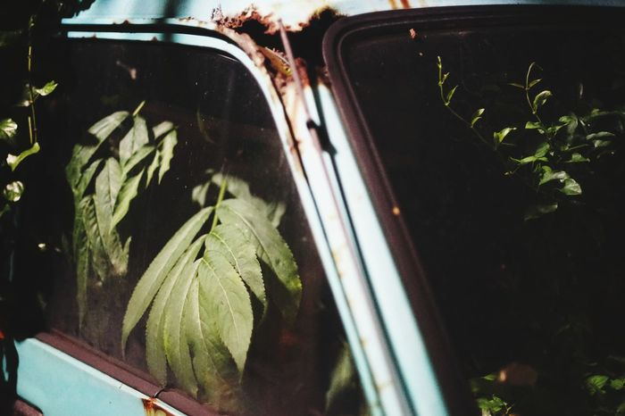 Transportation Car Green Leaves☘️ Abounded Places Occupied Freshness Beauty In Nature Getting Inspired Nature On Your Doorstep Window Green Day Place Of Heart Green Color Outdoors Plant Growth Leaf The Great Outdoors - 2017 EyeEm Awards The Week On EyeEm Editor's Picks