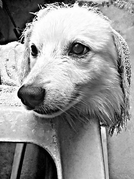 Eyeem Philippines Smartphone HRD Effects Black And White Dogs Of EyeEm Doglover Dogmodel Japanesespitz Afterbathselfie