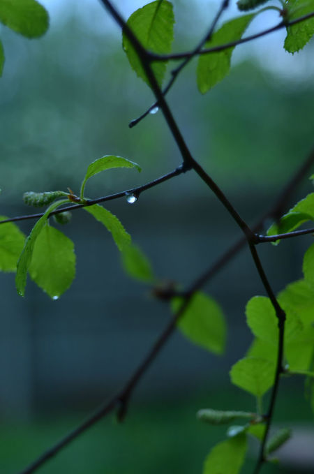 tree branches, raindrops, green leaves Beauty In Nature Branches Close-up Day Droplet Focus On Foreground Fragility Freshness Green Color Growth Leaf Leaves🌿 Nature Nature Nature Background No People Outdoors Plant Raindrops Tree Water