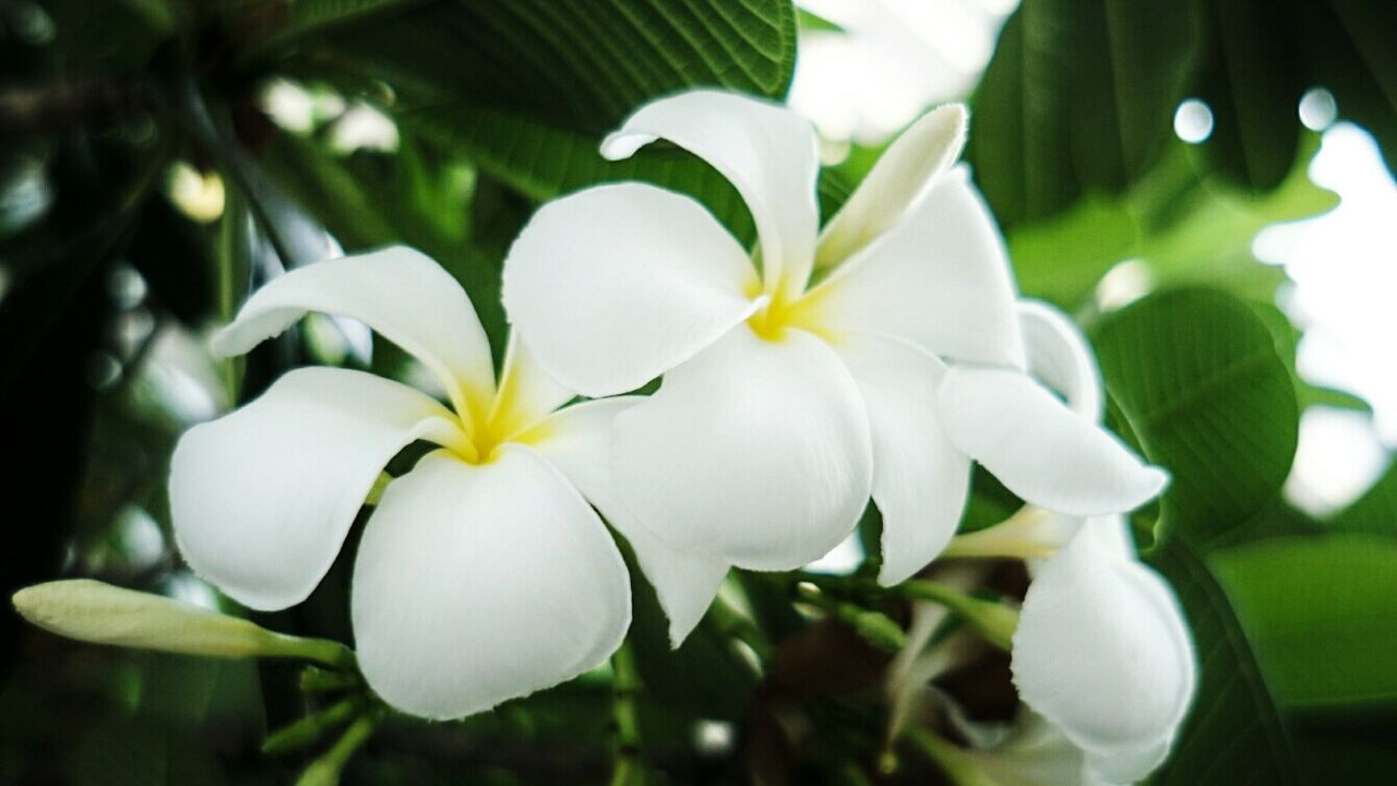 Frangipani Flower Plumeria Bokeh