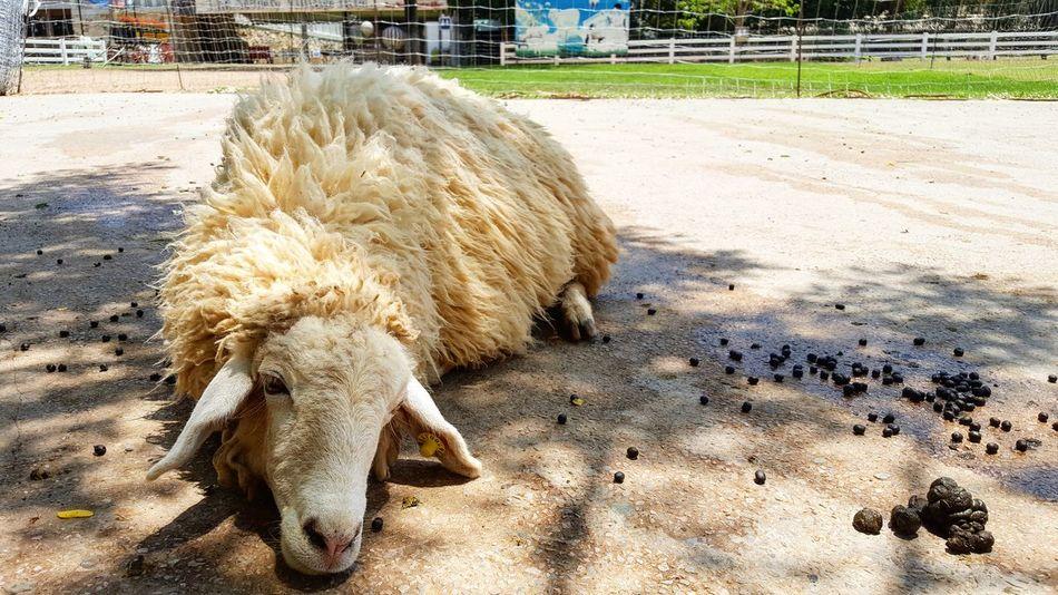 Animal Themes Nature Outdoors Animal Animal Photography Sheep Farm Sheepfarm Sheep Farm Sunny Sunnyday Lazy No People