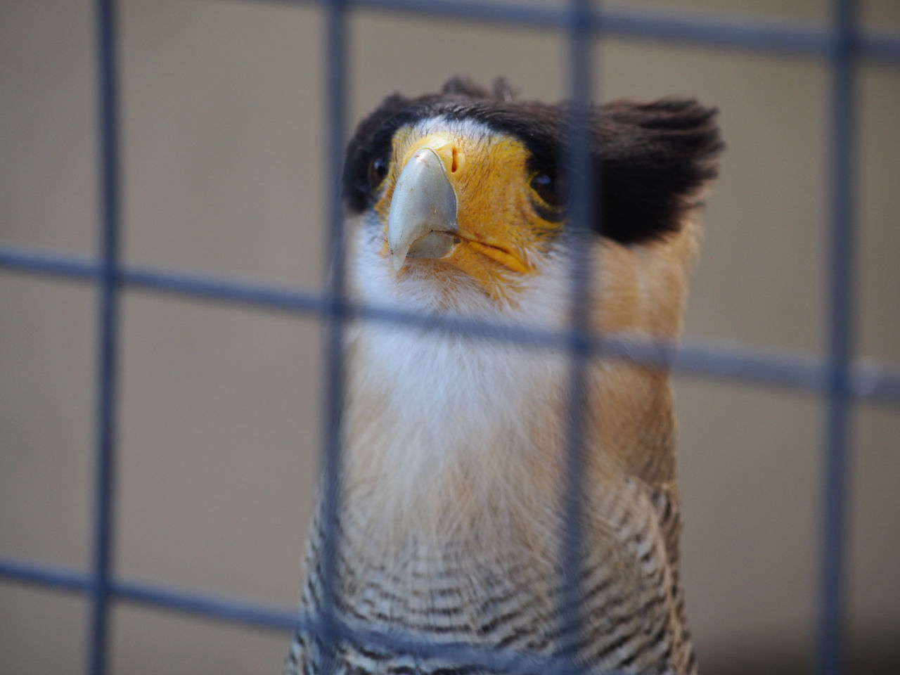 Beak Bird In Captivity CaraCara Helmsley Loud Call National Centre For Birds Of Prey Nature