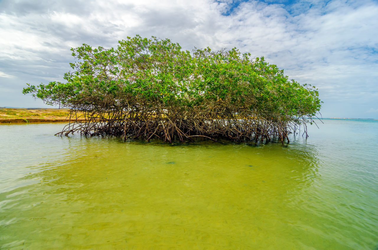 Mangrove tree near the coast of Punta Gallinas in La Guajira, Colombia Beach Blue Caribbean Colombia Green Guajira Idyllic La Guajira La Guajira Colombia Landscape Natural Nature Punta Gallinas Sand Sea Seascape Season  Sky Summer Sunlight Sunshine Tranquil Tropical View Water