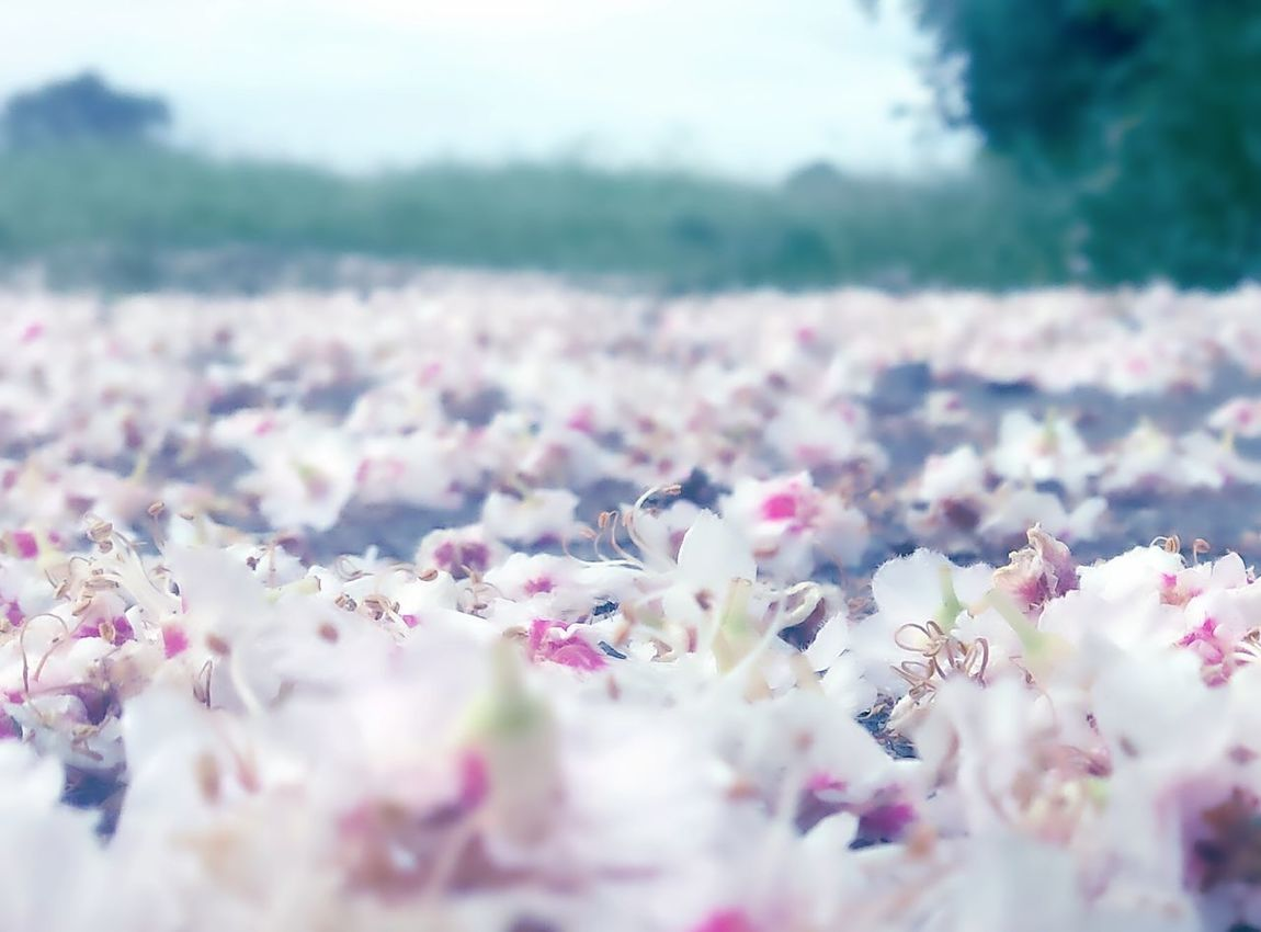 Fallen Blossoms Flower Nature Pink Color Springtime Plant Selective Focus Blossom Scenics Pastel Colored Softness Outdoors Tranquility Backgrounds Beauty In Nature Still Life Hello World Eye4photography  Germany Close-up Doğa EyeEm Nature Lover EyeEm Gallery EyeEm Masterclass Photography