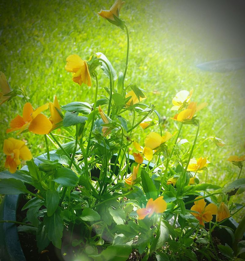 Sunlight Yellow Bloom Late Springtime 2017 Flower Freshness Beauty In Nature Outdoors Earlymorning