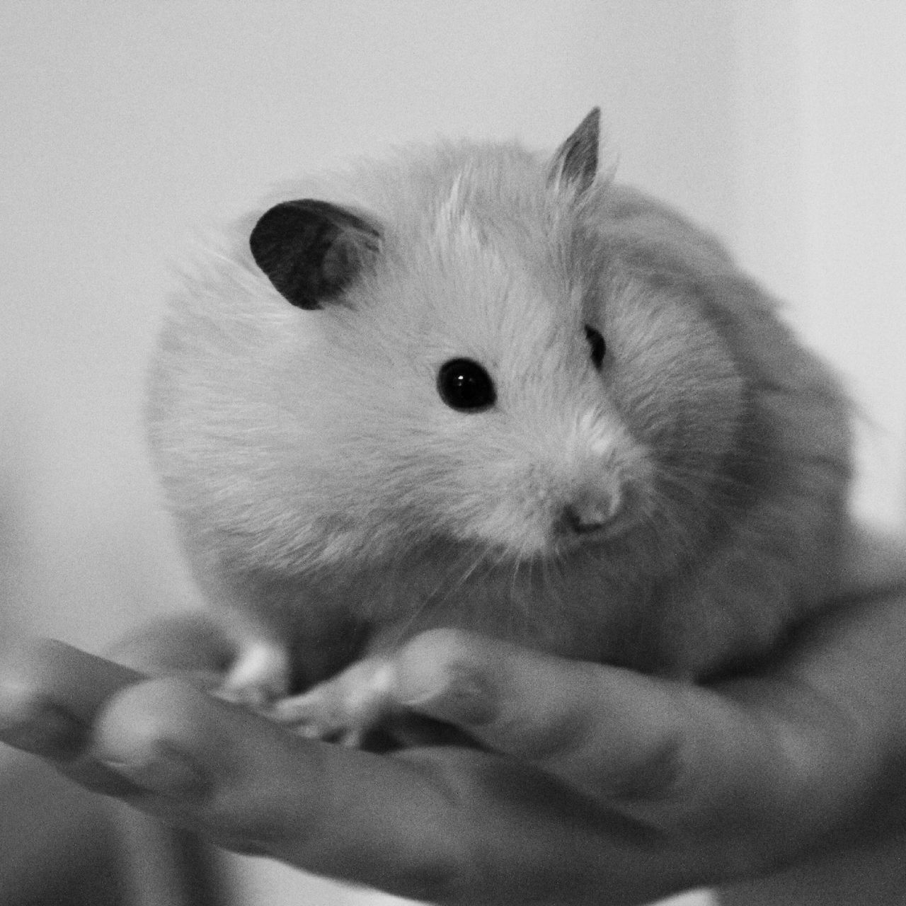 Depression again.. Just when I thought it was over 😞🔫 Hamster Hamster Love Pets Cute Cute Pets Beautiful Pretty Portrait Monochrome Blackandwhite