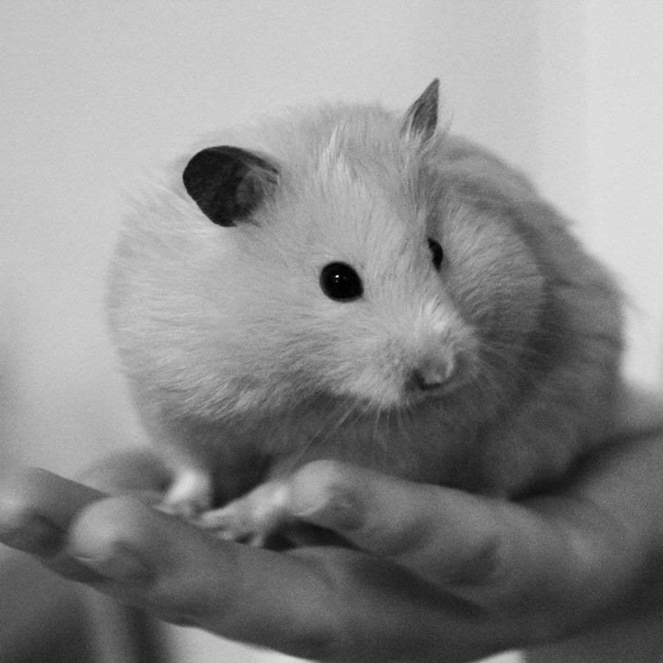 Beautiful stock photos of hamster, Animal Themes, Close-Up, Day, Exotic Pets