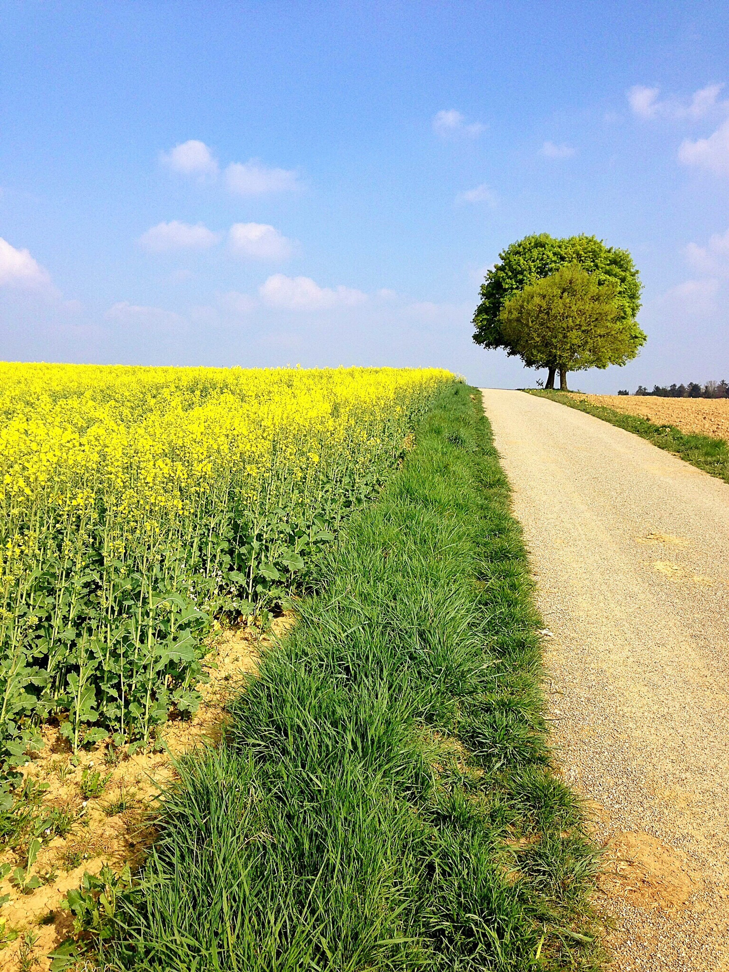 sky, tree, tranquility, tranquil scene, field, landscape, scenics, green color, nature, cloud - sky, grass, beauty in nature, growth, yellow, cloud, agriculture, rural scene, the way forward, sunlight, idyllic