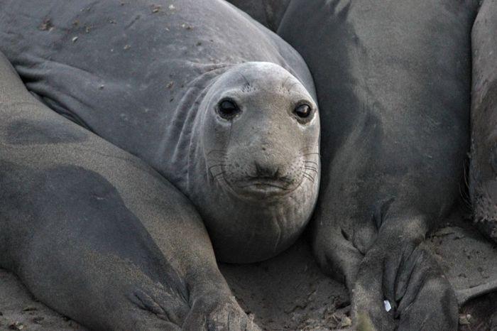 Seal Animal Wildlife Animals In The Wild Seal - Animal Portrait Sea Lion Aquatic Mammal One Animal