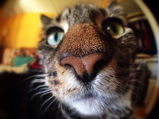 Zibby doing her Chester Cheetos Cheetah impersonation Cat #CatEyes Fisheye Lens Feline